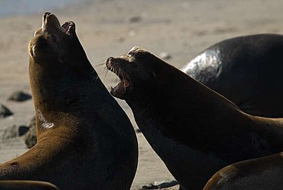 Sea Lions-trashtalking.jpg