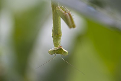 Recommended Lenses for Canon 5D Mk2-praying-mantis-lemon-tree-1200x800-tight-crop-img_0771.jpg