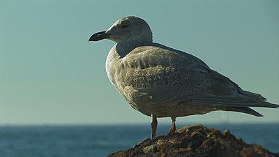 A1 non cc stills-seagull-alporto-net.jpg