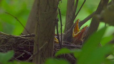 Baby Robins in Nest - Feeding-robin_screenshot.jpg