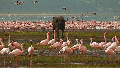 Tour To Africa-flamingo_and_buffalo_at_beach.jpg