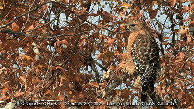 XL2 with Nikon Primes!-red-shouldered-4.jpg
