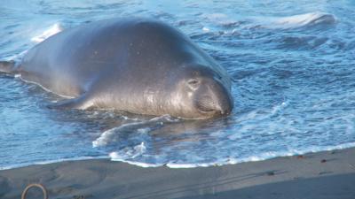 SxS vs Nanoflash stills:  Elephant Seals-eseal_0000_nano_278.png