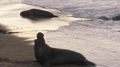 SxS vs Nanoflash stills:  Elephant Seals-eseal_0003_ex1_565.png