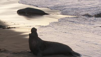 SxS vs Nanoflash stills:  Elephant Seals-eseal_0003_nano_594.png
