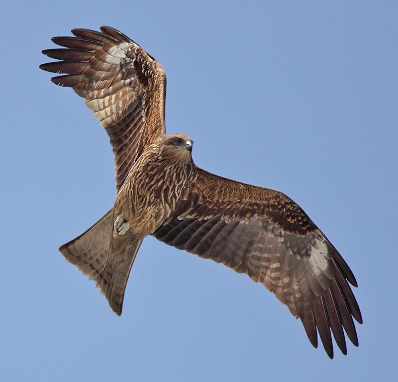 flying birds of black kite eagle habitat