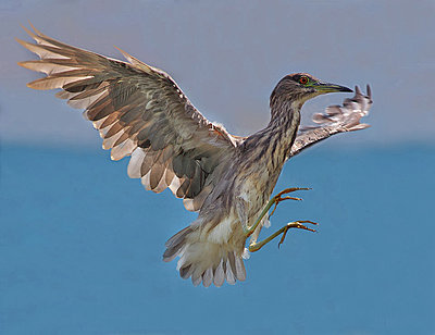 Post Your Photos (and lens/processing info)-black-crowned-night-heron.jpg