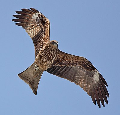 Post Your Photos (and lens/processing info)-black-kite.jpg