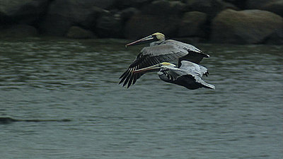 HD200, Zork, Nikon 80-200 2.8 ED fitment-pelicansfly.jpg