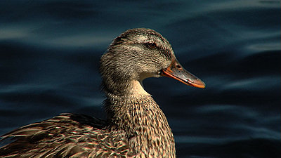 Getting the most out of the 16x stock lens-duck2.jpg
