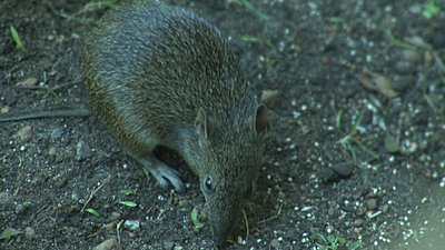 Pl mount for C lenses on SI-2K-juvenile-bandicoot.jpg