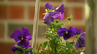 screen grabs-purple-pansies.jpg