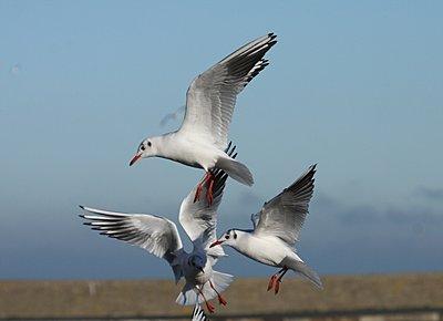V1, 2 questions-black-headed-gulls.jpg