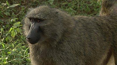 Vincent in Africa-baboonjpg.jpg