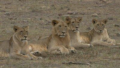 Vincent in Africa-lionsjpg.jpg