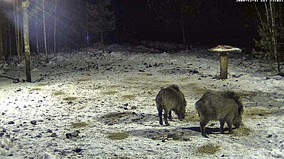 Wild Boar`s dining-table - Live feed-new-years-eve-dinner.jpg