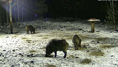 Wild Boar`s dining-table - Live feed-new-years-eve-2.jpg