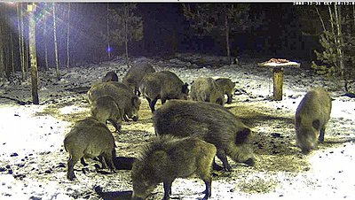 Wild Boar`s dining-table - Live feed-new-year-family-dinner.jpg
