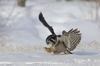 Black Kites on the wing-hawk-owl.jpg
