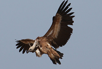 Black Kites on the wing-img_0703-copy.jpg