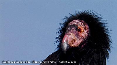 Condors DesJardin-california_condor_82-1.jpg