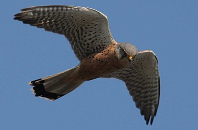 9 Foot Wing Span-kestrel.jpg