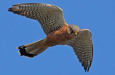 9 Foot Wing Span-kestrel-1bob.jpg-1.jpg