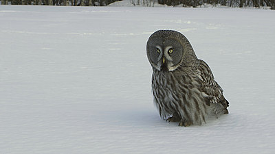 First impressions of RED One for wildlife shooting-great-grey-owl.jpg