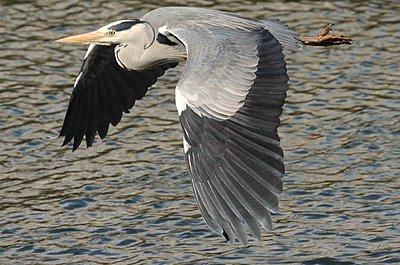 9 Foot Wing Span-img_0149-heron.jpg