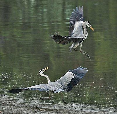 9 Foot Wing Span-grey-herons-img_3283xw-2.jpg