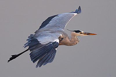 9 Foot Wing Span-grey-heron.jpg