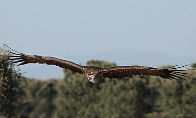 9 Foot Wing Span-black-vulture.jpg