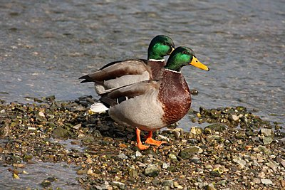 Anyone knows what this was?-mallards.jpg