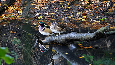 Wood Duck HD Video with Sony HX1-dsc05071.jpg