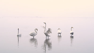 First impressions of RED One for wildlife shooting-swans.jpg