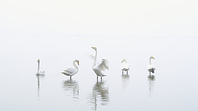 First impressions of RED One for wildlife shooting-swans-2.jpg