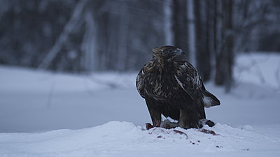 First impressions of RED One for wildlife shooting-golden-eagle-1.jpg