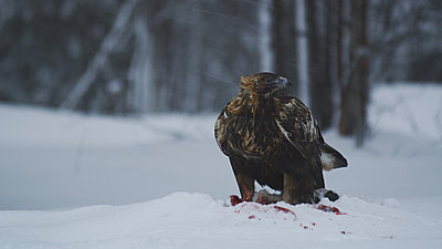 First impressions of RED One for wildlife shooting-golden-eagle-2.jpg