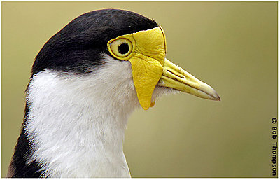 Recommend a (digi)scope, please-masked-lapwing.jpg
