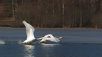 Grace - Mute Swan-grace.jpg