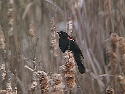 Red-winged Blackbird-rwbbcapture.jpg