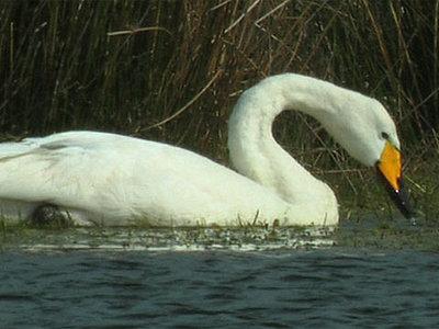 Grace - Mute Swan-whoopr2b.jpg
