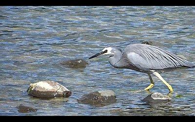 White-faced Heron does breakfast-heron-01.jpg