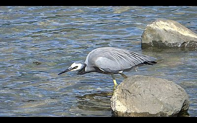 White-faced Heron does breakfast-heron-02.jpg