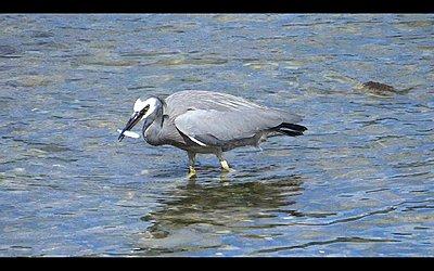 White-faced Heron does breakfast-heron-03.jpg