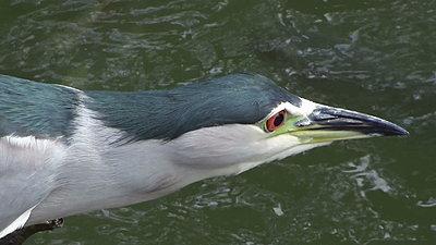 White-faced Heron does breakfast-20121111111556-1-.jpg