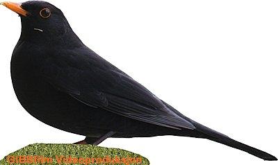 More Red-winged Blackbirds-blackbird.jpg