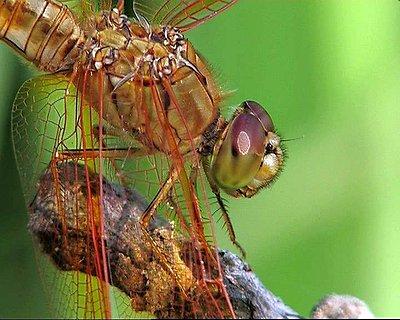Extra resolution-dragonfly.jpg