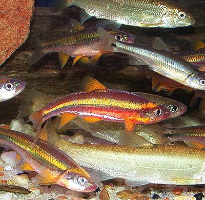 Underwater Fish Video-saffron_shiner.jpg