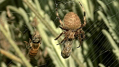 Spider and the Bee-spider_and_bee.jpg
